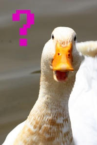confused-duck